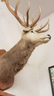 A very impressive stag with 13 points