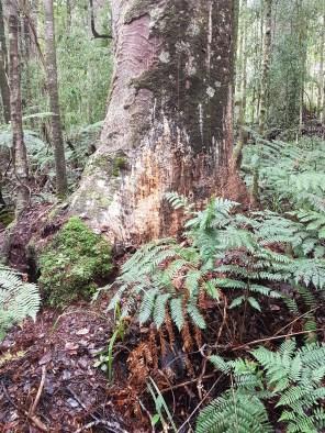 The beginnings of Kauri dieback