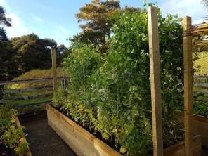 The vege garden
