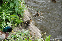 Ducks take the plunge in Lichfield. Pic: Ade Bradshaw