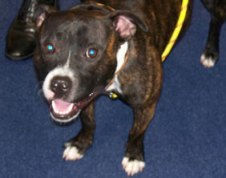 The Staffordshire Bull Terrier found in Fradley