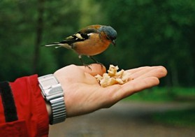 male chaffinch on hand