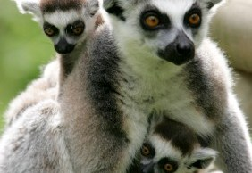 A lemur with the new twins