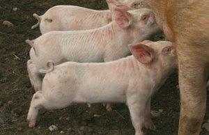 Piglets feeding