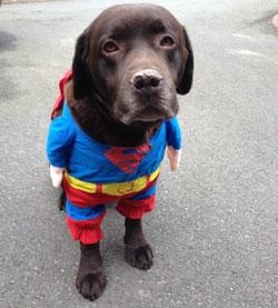 Moose the labrador in his superhero costume