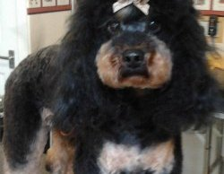Roy the miniature poodle with his Asian Fusion style