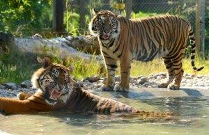 Drayton Manor's new Sumatran tigers, Dua and Dora