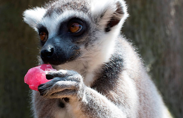 A lemur at Drayton Manor keeping cool with a frozen treat