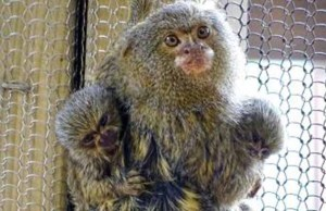The new pygmy marmosets