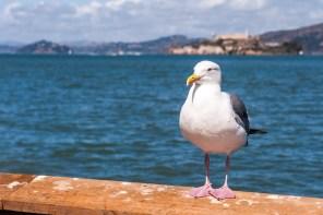 Vogelfrei vor Alcatraz
