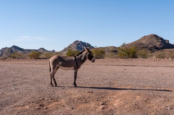 Achtung, Esel stehen hier einfach auf der Straße rum.