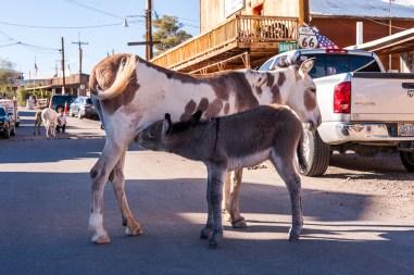 Esel in Oatman