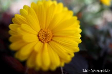 Herbstblume