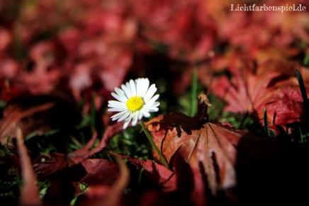 Gänseblümchen im Herbst