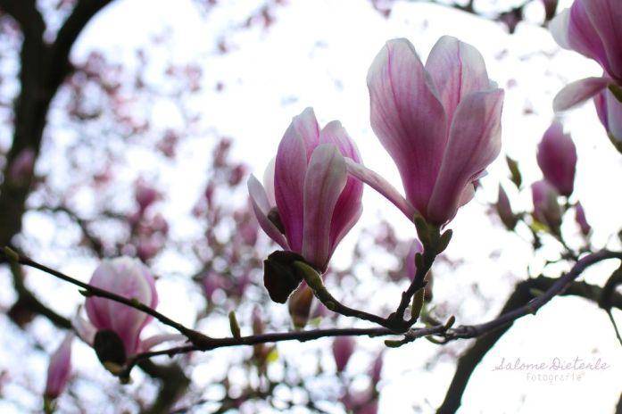Magnolien