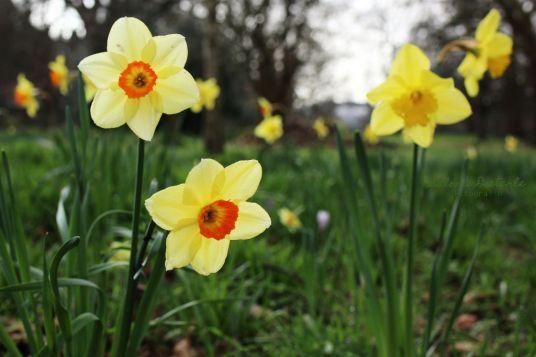 Osterglocken im Frühling
