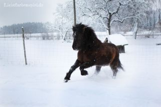 Lettir im Schnee