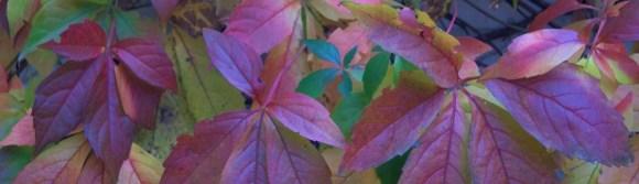 Blätter, wilder Wein, Herbst