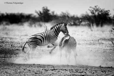 böses Zebra