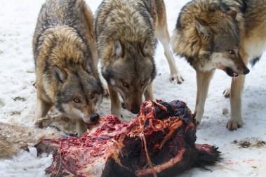 wolf-8