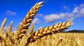 MARS снижает прогнозы урожайности зерновых в Европе