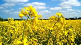 Урожай рапса в ЕС в 2017 году вновь будет невысоким
