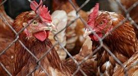 Запрет на ввоз продукции птицеводства из ЕС вступил в силу