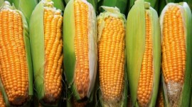 Прогноз мирового производства кукурузы в 2016/17 МГ повышен на 9 млн тонн