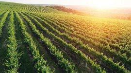 В ближайшие 3-5 лет Комбинат «Cricova» планирует расширить площадь виноградников до 1 тыс. га.