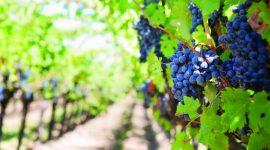 О модернизации закладки винных сортов для производства высококачественных вин с географическим указанием