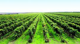 О новых требованиях к виноградникам технических сортов в Молдове