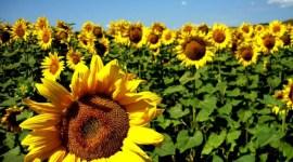 Болгария станет топ производителем подсолнечника в ЕС
