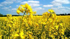 Strategie Grains снизило прогноз производства рапса в странах ЕС в сезоне 2017/18