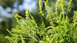 АМБРОЗИЯ ПОЛЫННОЛИСТНАЯ — опасное сорное растение