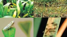 Вирусные болезни зерновых колосовых