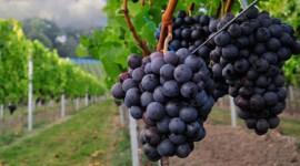 ИНВЕСТИЦИИ В ПРОИЗВОДСТВО ПОСАДОЧНОГО МАТЕРИАЛА ВИНОГРАДА Более $400 тыс. будут инвестированы до 2020 года в производство сертифицированного посадочного мате- риала винограда, ориентированного на потребности рынка.