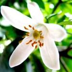 Los increíbles beneficios de la flor de azahar, el numero 3 te sorprenderá
