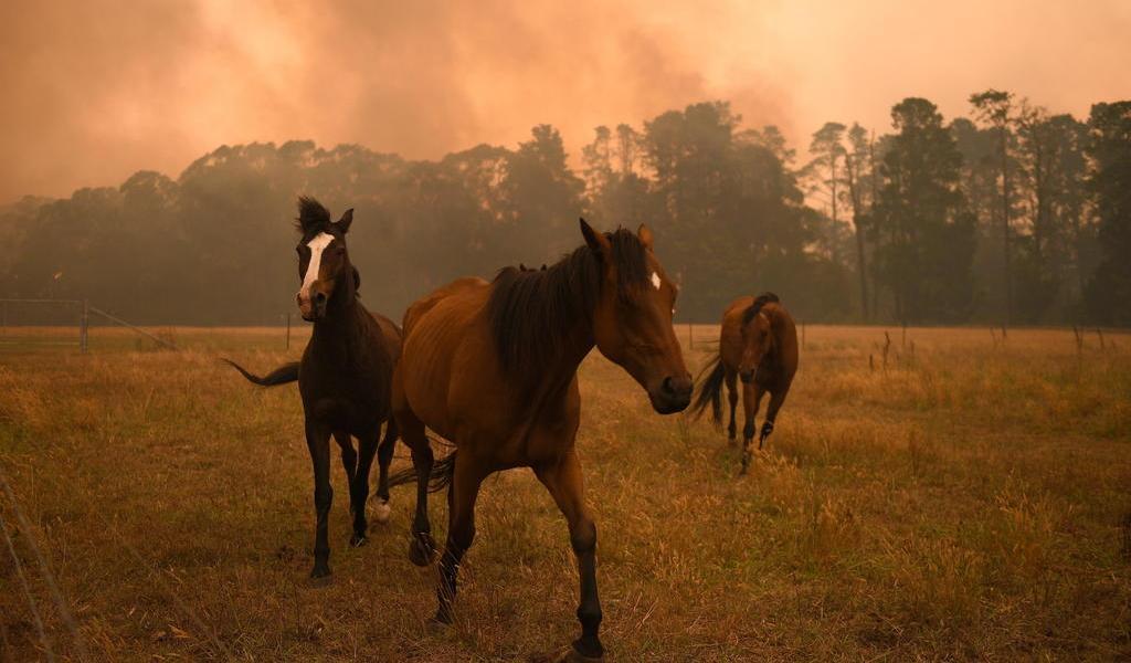 Inicia sacrificio de miles de camellos y caballos en Australia