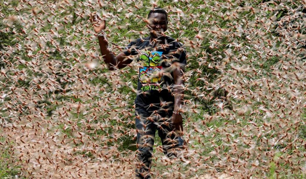 Preocupa plaga de langostas en África oriental