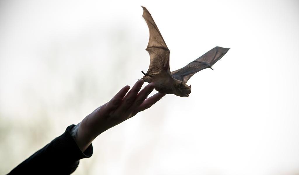 En Perú, atacan con fuego a más de 500 murciélagos por temor a COVID-19