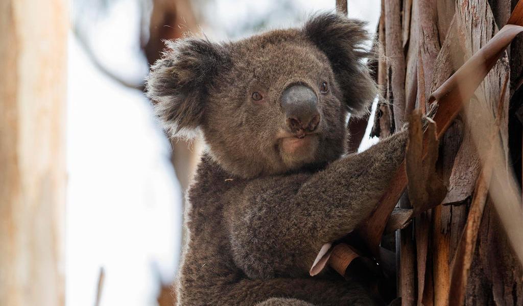 Inician restauración de hábitats afectados por incendios en Australia