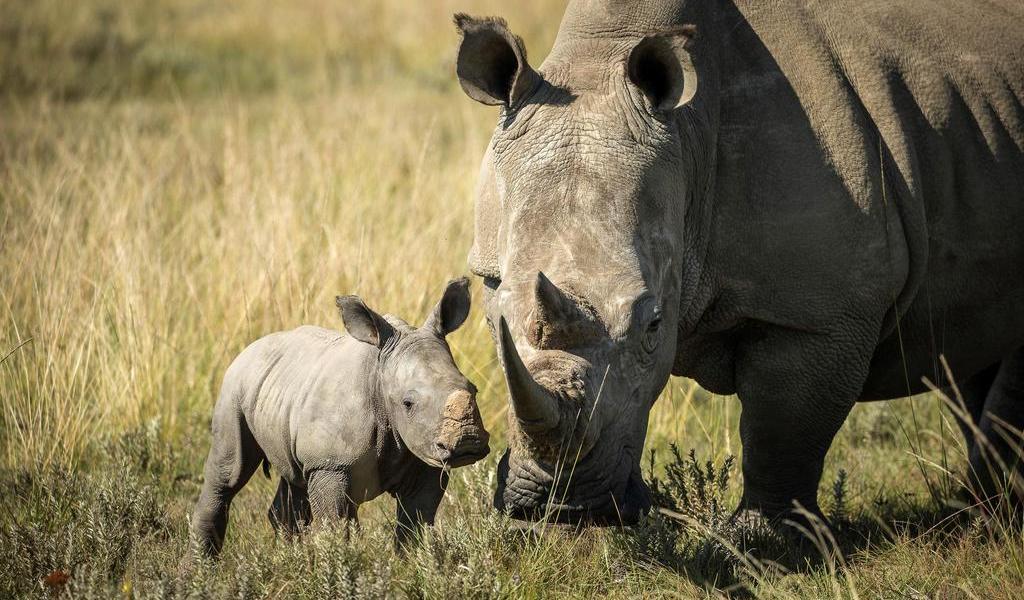 Por COVID-19, caza furtiva de rinocerontes cae un 53 % en Sudáfrica