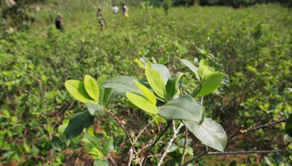 Perú acusa a EUA de 'serios errores' en su estimación de cultivos de coca