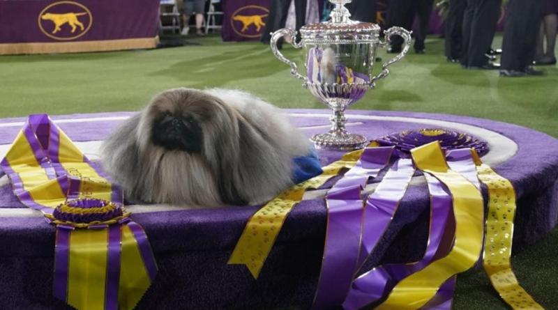 Wasabi, el perro pequinés que triunfó en Westminster