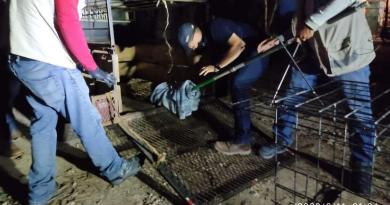 Chetumal: Rescatan a jaguar atropellado en la carretera federal