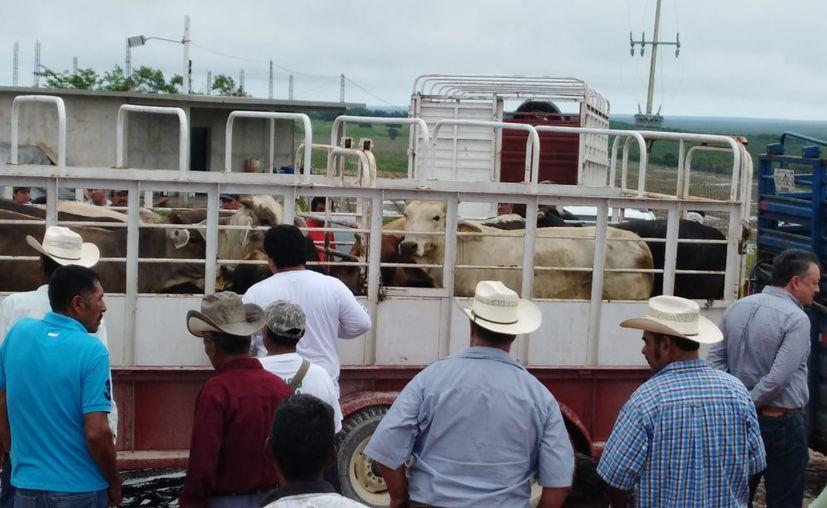Chetumal: Productores de Quintana Roo logran venta récord de ganado