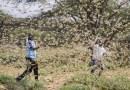 …Y ahora plaga de langostas azota a África