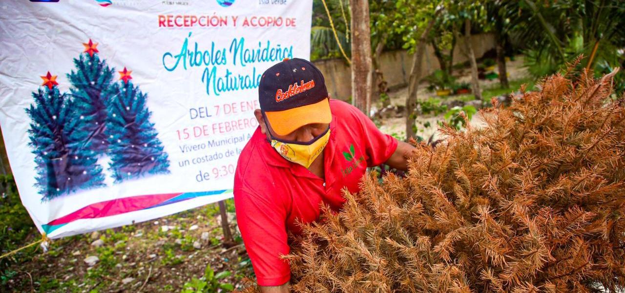ABRE GOBIERNO DE ISLA MUJERES CENTRO DE RECEPCIÓN Y ACOPIO DE ÁRBOLES NAVIDEÑOS NATURALES