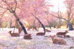 Ciervos descansan bajo los cerezos en Japón por ausencia de humanos (VIDEO)