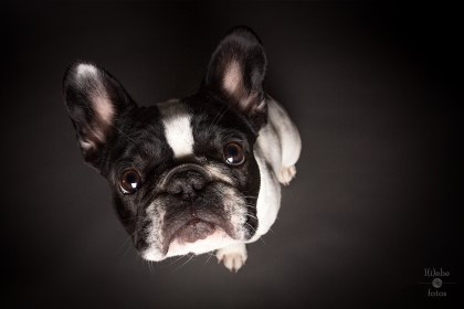Frida - French Bulldog